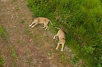 Aerial view of two female lions resting at Gazipur Safari Park in Sreepur, Dhaka, Bangladesh.