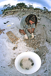 James Removing Eggs From Turtle Nest