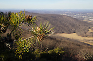 Cornwall, New York - A view looking west from the Trestle Trail on Schunnemunk Mountain on Jan. 1, 2015. Pitch pine trees are plentiful high on the mountain.
