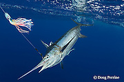 blue marlin, Makaira nigricans, hooked up, next to boat, and about to be tagged and released, Vava'u, Kingdom of Tonga, South Pacific