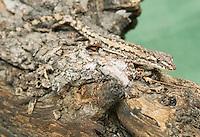 House gecko, Hemidactylus frenatus. Liquica District, Timor-Leste (East Timor)