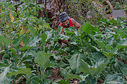 Mr. Onéas make some cleaning in his cabbage planting in Vitória Occupancy, Isidoro area. People in Isidoro use to make small planting outside their houses.