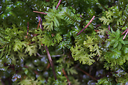 The pale green moss Trichocolea tomentella, near Nītaure, Vidzeme, Latvia Ⓒ Davis Ulands   davisulands.com