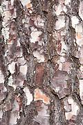 Close up of Pine Tree Bark, Sierra de Andujar Natural Park, Sierra Morena, Andalucia, Spain