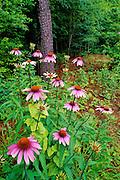 Purple Coneflowers near woods - Mississippi.