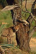 Cheetah. Okavango Delta, Botswana, Southern Africa