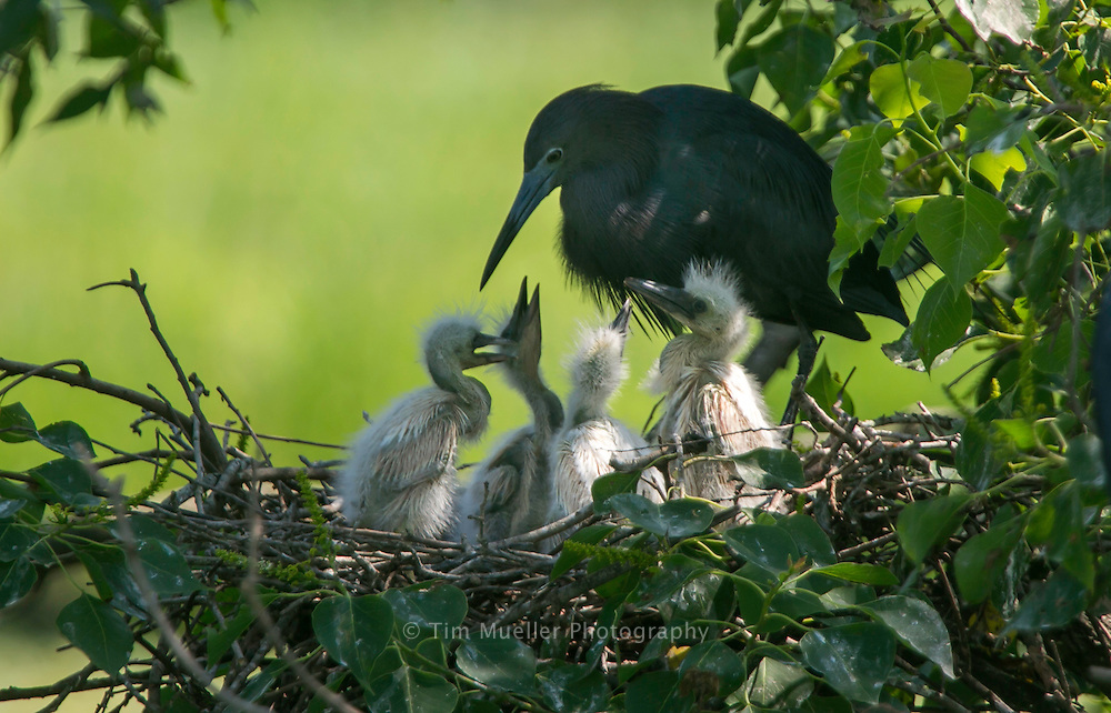 A Little Blue Heron tends to her chicks at Rookery on Jefferson Island in South Louisiana.