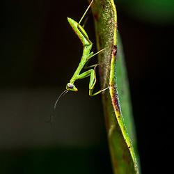 """""""Louva-a-deus (Mantodea) fotografado em Guarapari, município do estado do Espírito Santo -  Sudeste do Brasil. Bioma Mata Atlântica. Registro feito em 2018.<br /> ⠀<br /> ⠀<br /> <br /> <br /> <br /> <br /> ENGLISH: Praying mantis photographed in Guarapari, in Espírito Santo - Southeast of Brazil. Atlantic Forest Biome. Picture made in 2018."""""""
