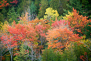 Fall foliage turns all shardes of red and yellow.Acadia National Park, Maine, USA