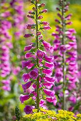 Digitalis purpurea 'Dalmatian Purple' - Dalmatian Series - Foxglove