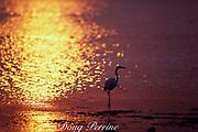 great egret, Casmerodius albus, fishing in Biscayne Bay at sunset, Miami, Florida, USA ( Western Atlantic Ocean )