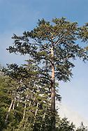 Black pine (Pinus nigra), Montenegro. © Rudolf Abraham