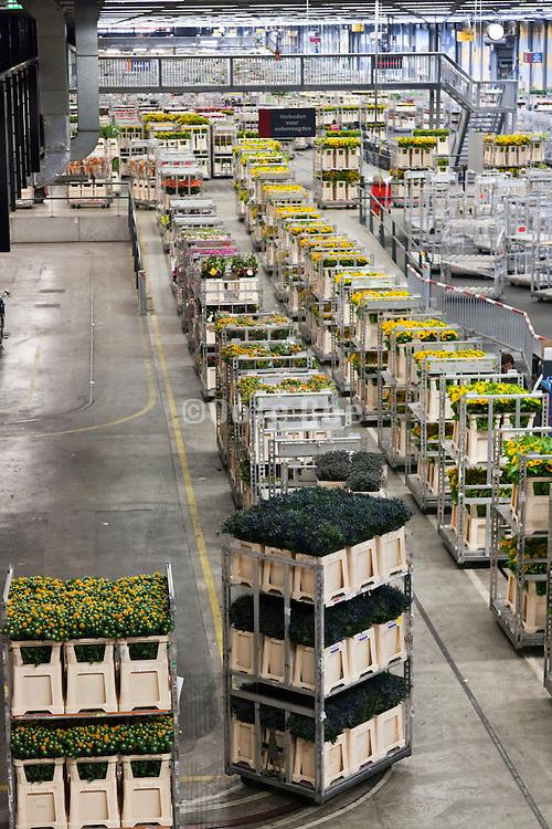 automated flower tranport inside the large warehouse hall of FloraHolland Aalsmeer Netherlands