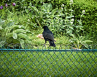 Carrion Crow (Corvus corone). Paris, France. Image taken with a Nikon N1V2 camera and 18.5 mm lens.