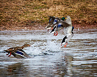 Mallard Ducks taking off out of the pond at the Sourland Mountain Preserve. Image taken with a Nikon D300 camera and 80-400 mm VR lens (ISO 560, 400 mm, f/8, 1/250 sec).