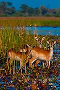 Botswana-Wildlife-Antelopes