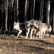 Gray Wolf, (Canis lupus) Pack in hardwood forest of northern Minnesota, running.   Captive Animal.
