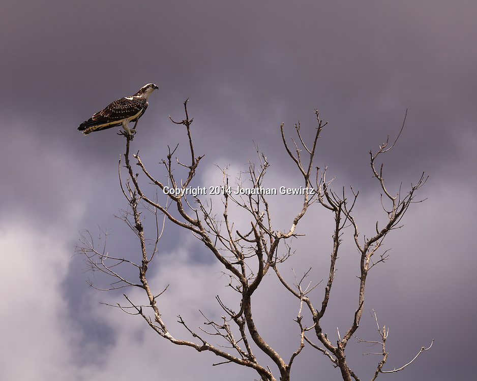 An Osprey (Pandion haliaetus) perches in the branches of a barren tree under stormy skies in Everglades National Park, Florida.<br /> WATERMARKS WILL NOT APPEAR ON PRINTS OR LICENSED IMAGES.
