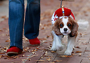 Gus Gus, a Cavalier King Charles spaniel is outfitted as a king  during the 7th annual Doggie Howl-O-Ween event Thursday night on the Downtown Mall in Charlottesville, VA. Over 20 Downtown businesses participated in the event that included a Doggie parade and Doggie costume contest. Photo/Andrew Shurtleff