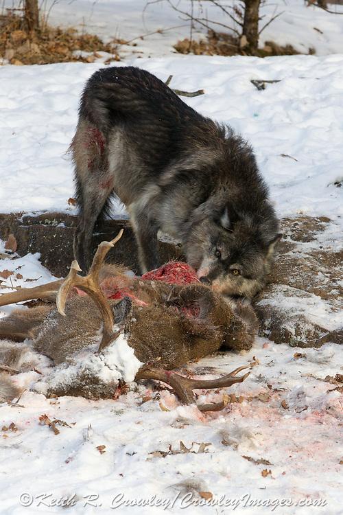 Black wolf feeding on deer carcass in wooded winter habitat.