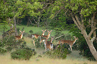 Wild, original Fallow deer, Dama dama, Studen Kladenets reserve, Eastern Rhodope mountains, Bulgaria