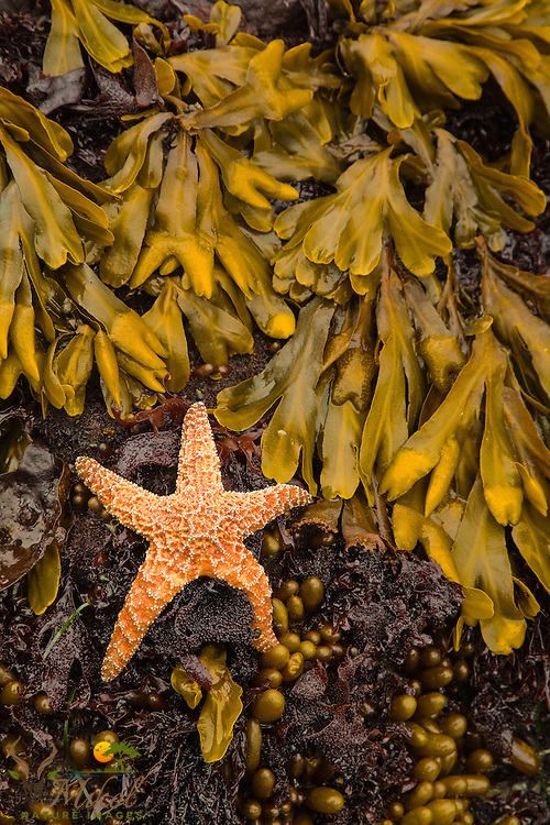 Ochre Sea Star and Rockweed in tidal pool
