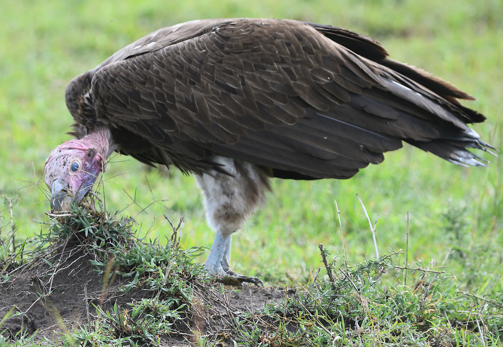A lappet-faced vulture or Nubian vulture (Torgos tracheliotos) cleans its bald head in a tuft of vegetation near the remains of an animal carcass where it has been feeding. Serengeti National Park, Tanzania.