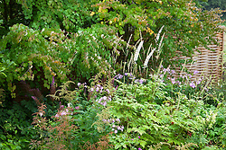 Phlox and Cimicifuga racemosa syn. Actaea racemosa with astilbe seedheads and Cercidiphyllum foliage