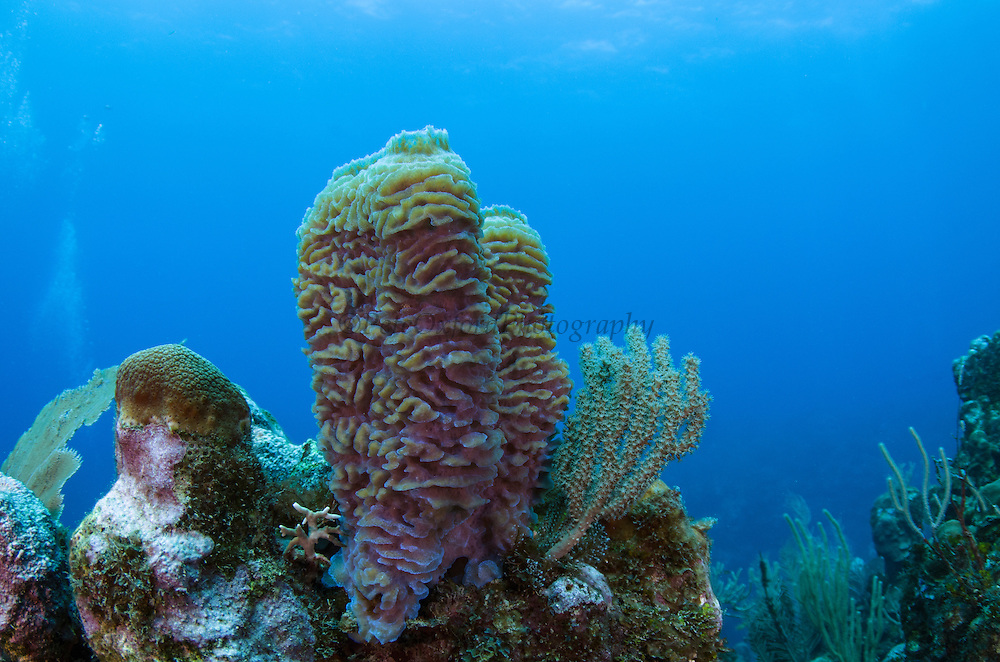 Branching Tube Sponge (Pseudoceratina crassa)<br /> Hol Chan Marine Reserve<br /> near Ambergris Caye and Caye Caulker<br /> Belize<br /> Central America