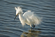 Snowy Egret At Bolsa Chica Wetlands