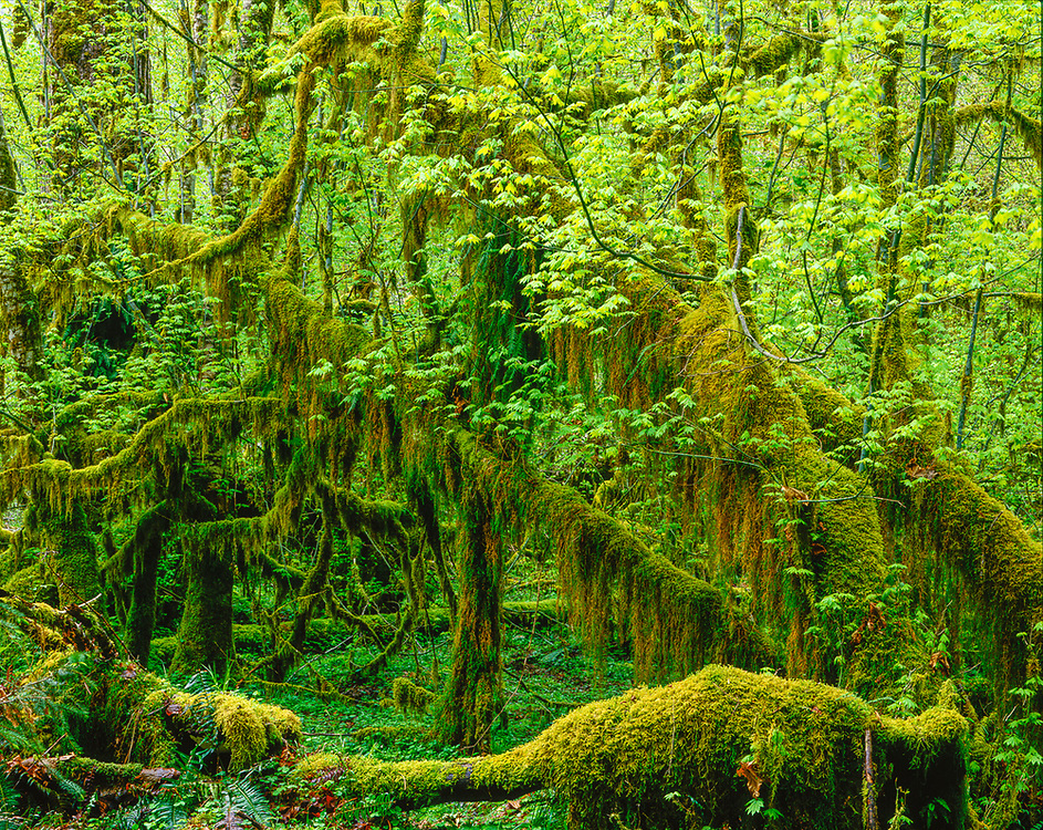 Vine maple (Acer circinatum) and moss-covered branches, spring, Hoh Rain Forest, Olympic National Park, Washington, USA