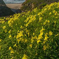 Wildflowers bloom along the California Coast in San Mateo County near Pescadero.