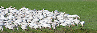 Snow Geese (Chen caerulescens) flock eating while wintering gather close together for protection from predators at Fox Island, Skagit River Delta, WA, USA panorama