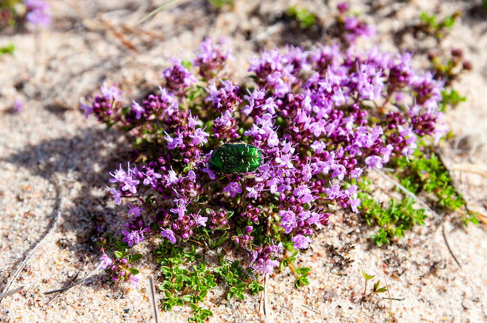 Sweden, Gotska Sandön national park, Bredandsudden. Thymus serpyllum and a green beetle, Cetonia aurata.