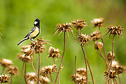 Great Tit (Parus major), is a passerine bird in the tit family Paridae. Photographed in Israel in May