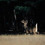 Whitetail Deer buck fleeing across a meadow during fall rut. Wisconsin