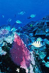 spawning aggregation of Hawaiian sergeant major, Abudefduf abdominalis, endemic, showign males guarding eggs, (large purple patches on rocks), Big Island, Kona, Hawaii, Pacific Ocean