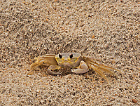 NC01272-00...NORTH CAROLINA - A ghost crab on an beach along the Atlantic Ocean on the Outer Banks.