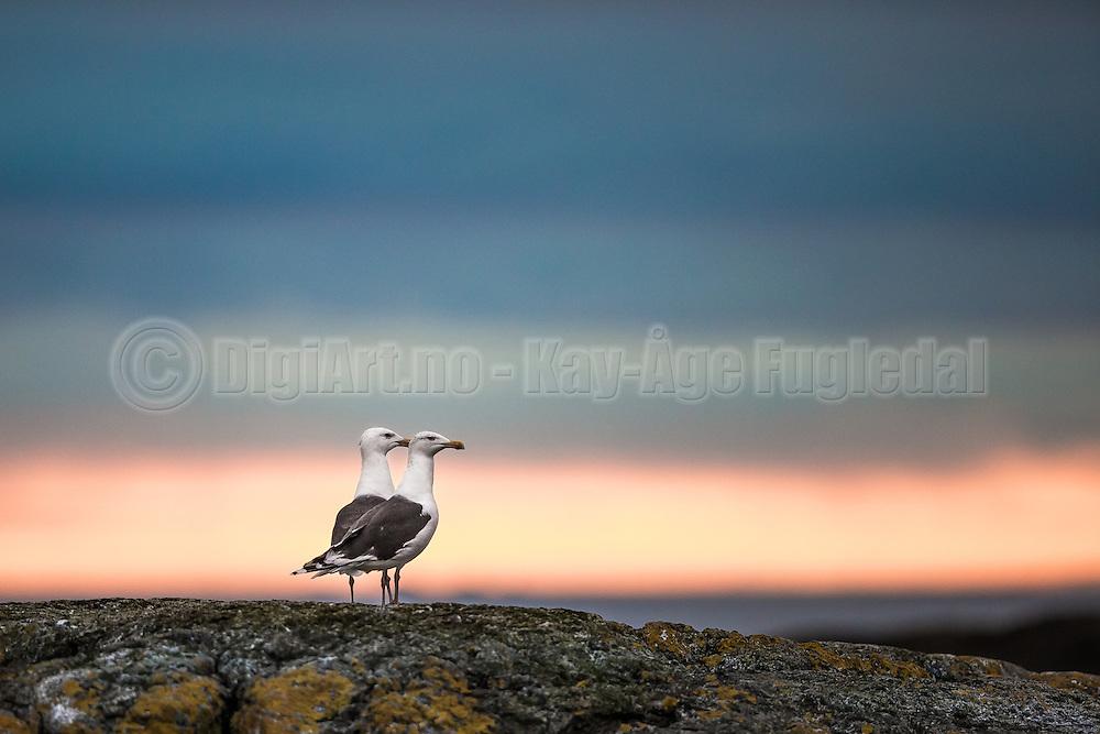 Seagulls in summers night   Måker i sommernatt