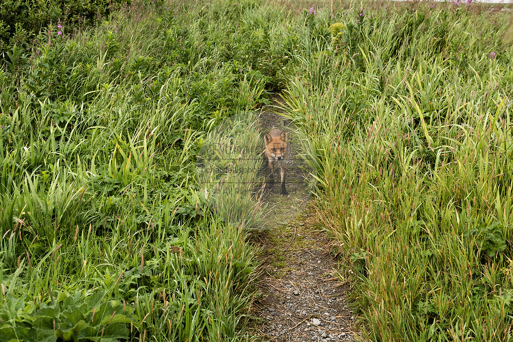 A red fox adult walks down a path through the marsh grass at the McNeil River State Game Sanctuary on the Kenai Peninsula, Alaska. The remote site is accessed only with a special permit and is the world's largest seasonal population of brown bears in their natural environment.