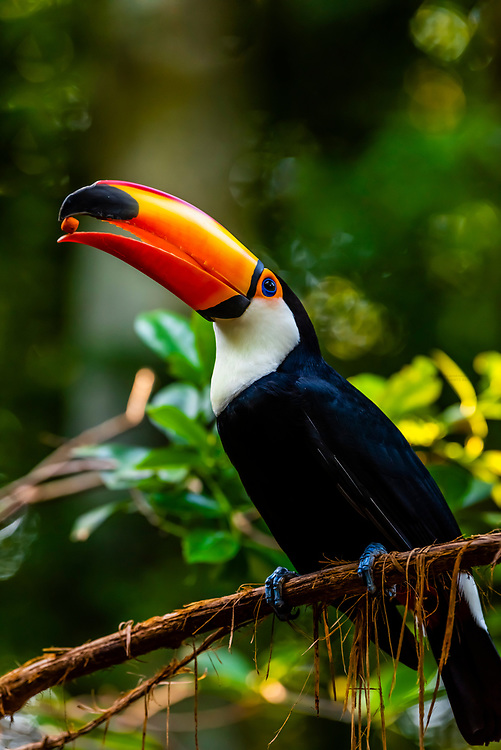 A toucan holding a treat in its mouth, Parque des Aves (Bird Park), Foz do Iguacu, Brazil.
