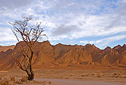 Israel, southern Arava desert near Eilat  lone Acacia tree