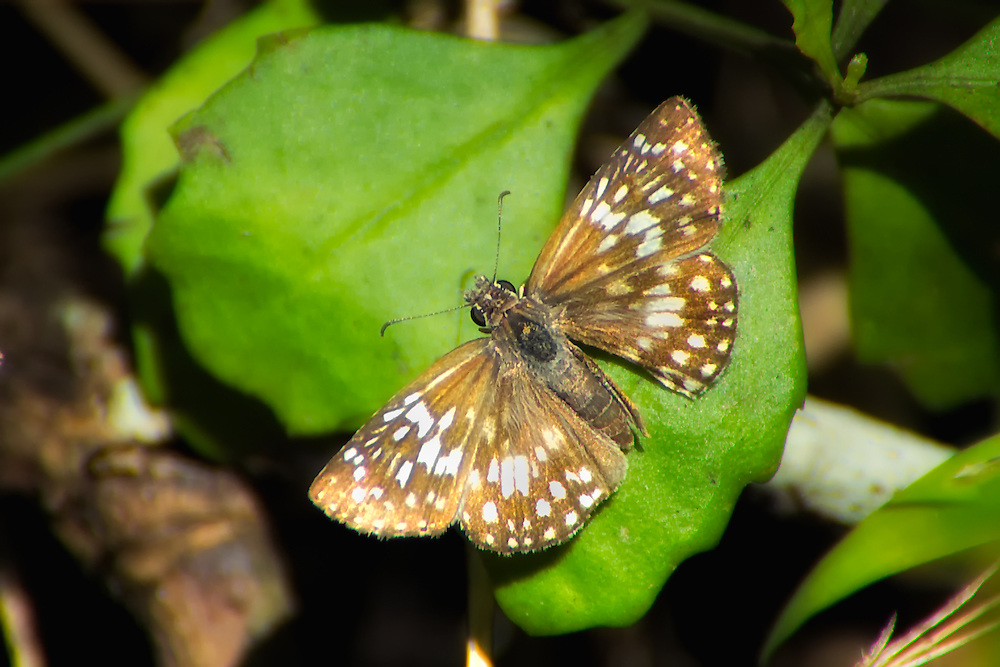 Female tropical checkered skipper followed, chased and finally photographed in the Corkscrew Swamp in SW Florida. These are fast!