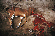 A freshly slaughtered calf by the side of the road near Mogadishu, Somalia. March 1992.