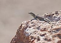 Side-blotched lizard, Uta stansburiana, near Saratoga Spring in Death Valley National Park, California