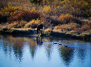 Bull moose and Canada geese, Oxbow Bend of the Snake River, Grand Teton National Park, Wyoming.