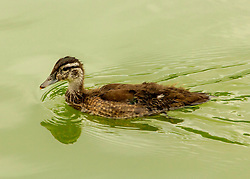 A young duck waddles through emerald waters