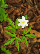 The Wood Anemone, Anemone nemorosa, is an indicator of ancient woodland and forms beautiful display in spring woodlands. Miller's Dale, Peak District