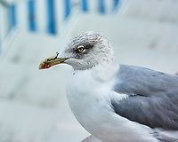 Lesser Black-backed Gull (Larus fuscus). Cascais, Portugal. Image taken with a Nikon N1V3 camera and 70-300 mm VR lens.