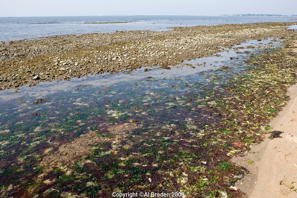 Rich algae growth in the tidewaters at Griswold Point at the mouth of the Connecticut River, Old Lyme, CT